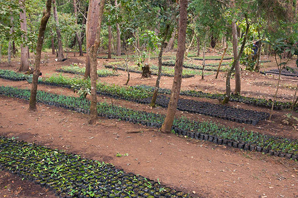 Seedlings for reforestation