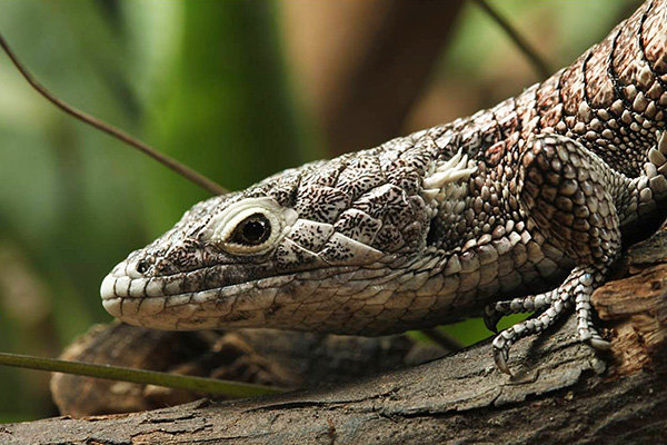 Campbell's Alligator Lizard (Abronia campbelli)